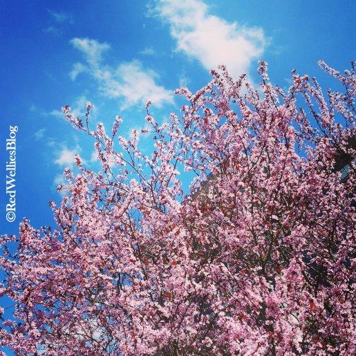 ...wenn die Kirschen wieder rosa blühen.